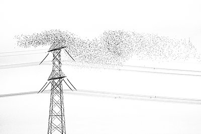 Flock of starlings near high powerlines - p1144m944074 by Misja Smits