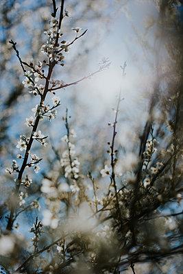 White blossoms against the light - p1184m1222715 by brabanski