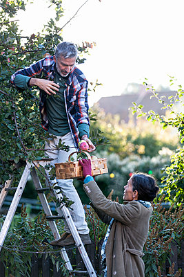 Mature couple picking apples, Stockholm, Sweden - p312m927126f by Ulf Huett Nilsson