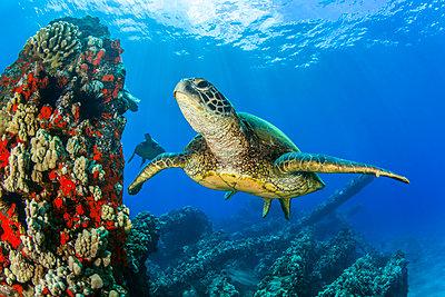 Hawaiian Green sea turtle (Chelonia mydas) swimming in clear, blue water; Lahaina, Maui, Hawaii, United States of America - p442m2074115 by Jenna Szerlag