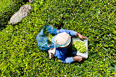 Aerial view of a woman picking tea leaves in Sri Lanka - p590m2090546 by Philippe Dureuil