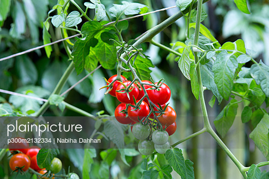 Organic tomato plant, red and green tomatoes - p300m2132334 by Nabiha Dahhan