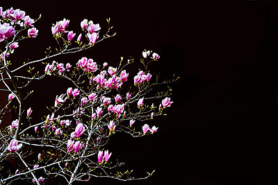 Magnolia blossom - p1312m2164025 by Axel Killian