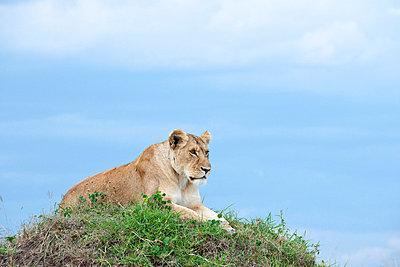 Lion on grass - p5330260 by Böhm Monika