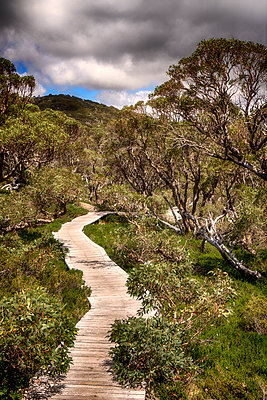 Planked footpath and gum trees - p1154m1462063 by Tom Hogan