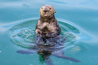 Sea otter (Enhydra lutris) playing and eating in the water near the small boat harbour; Seward, Alaska, United States of America - p442m2091936 by Doug Lindstrand