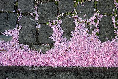 Kirschblüten auf Kanaldeckel - p666m949376 von Sennaa