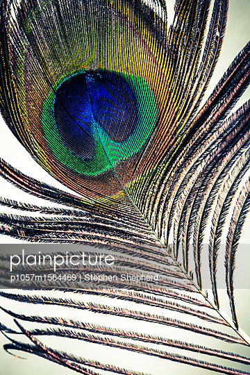 Pfauenfeder mit Pfauenauge - p1057m1564469 von Stephen Shepherd
