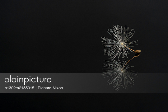 Dandelion seed on a black reflective surface - p1302m2185015 by Richard Nixon