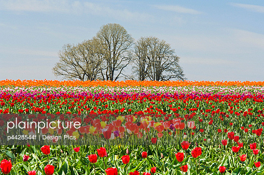 Field of tulips, Wooden Shoe Tulip Farm, Oregon, USA