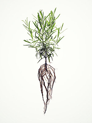 Rosemary. - p31221247f by Alexander Crispin