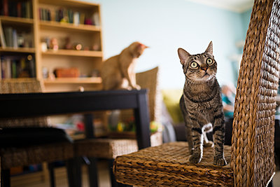 Tabby cat standing on wicker chair while kitten sitting on table in the background - p300m1081327f by Ramon Espelt