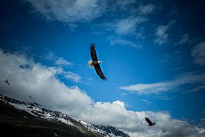 Adler in den Bergen von Alaska - p741m2168721 von Christof Mattes
