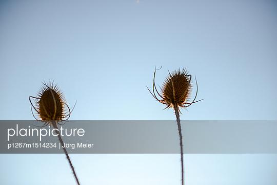 Zwei Disteln vor blauem Himmel - p1267m1514234 von Wolf Meier
