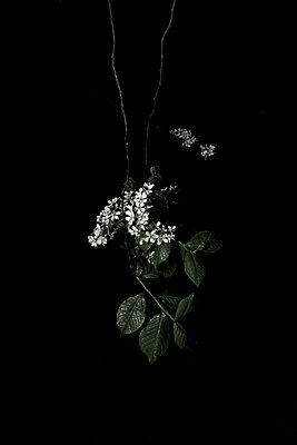 Plant with white blossoms against white background - p1685m2272448 by Joy Kröger