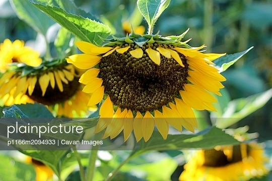Bright yellow sunflower garden - p1166m2094933 by Cavan Images