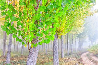 Forest Of Poplar Trees In Serrania De Cuenca - p343m1218036 by David Santiago Garcia