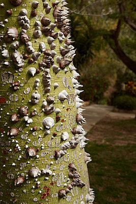 Silk floss tree - p3640258 by T. Hoenig