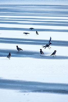 Krähen auf der zugefrorenen Havel - p739m1108658 von Baertels