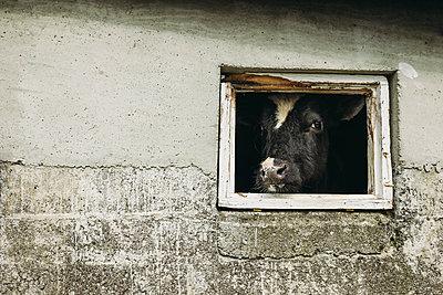 Portrait of cow seen through barn's window - p1166m1489142 by Cavan Images