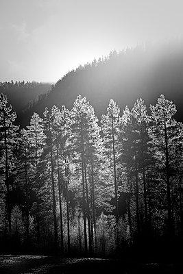 Frostedeckte Kiefern im Gegenlicht - p235m1116476 von KuS