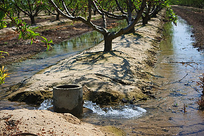 Agriculture - Water flows from a standpipe to furrow irrigate a peach orchard / near Dinuba, California, USA. - p442m1006219 by Steve Goossen