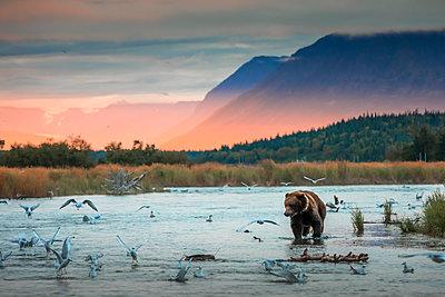 Brown bear (Ursus arctos alascensis), Brooks Lake, Katmai National Park and Preserve,  alaska peninsula, Alaska, USA - p651m2032606 by Marco Gaiotti