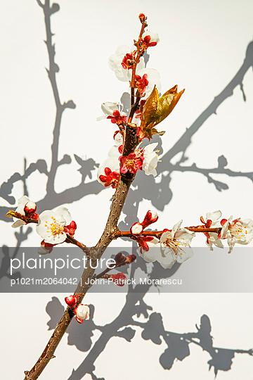 Aprikosenblüte - p1021m2064042 von MORA