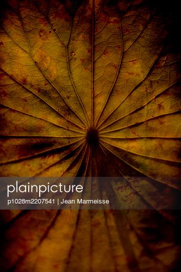 Sacred lotus leaf (Nelumbo nucifera) - p1028m2207541 von Jean Marmeisse