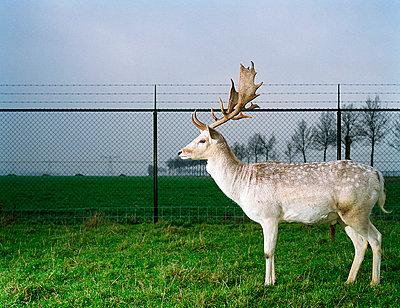 White deer - p1132m1016995 by Mischa Keijser