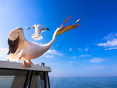 Namibia, Erongo Province, white pelican standing on top of a boat catching a fish - p300m1115089f by Martin Moxter
