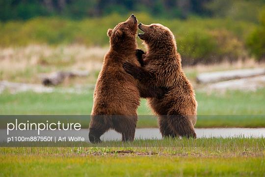Brown bears - p1100m887950f by Art Wolfe