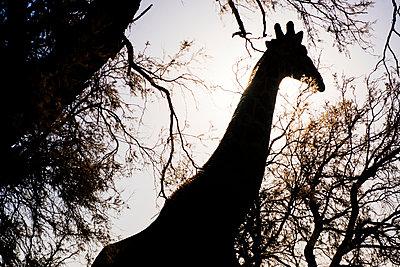 Giraffe im Gegenlicht - p1065m885932 von KNSY Bande