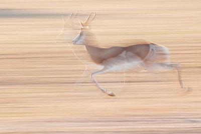 Antilope - p1065m885940 by KNSY Bande