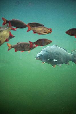 Schwarm Fische - p1643m2229414 von janice mersiovsky