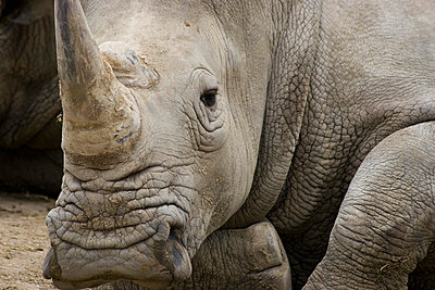 Rhinoceros - p6751786 by Jerome Gorin