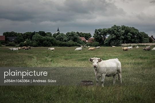 Kühe auf der Wiese - p354m1043364 von Andreas Süss