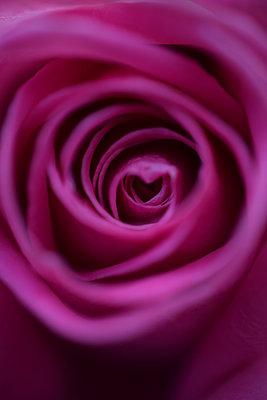 Rose - p1235m2035307 by Karoliina Norontaus