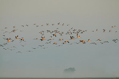 Germany, Mecklenburg-Western Pomerania, Common cranes, Grus grus, flying - p300m929892f by Hans Clausen