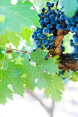 Grapes - p4450349 by Marie Docher