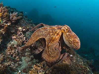 Octopus vulgaris - p1166m2130291 by Cavan Images