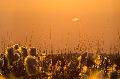 Flowering Grasses and Stalks - p1562m2141841 by chinch gryniewicz