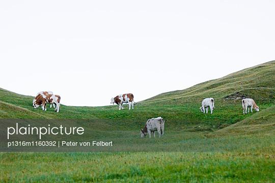 Kühe auf der Weide, Seiser Alm, Langkofel,Dolomiten, Südtirol, Italien - p1316m1160392 von Peter von Felbert