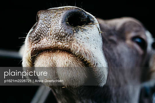 Cow's mouth - p1621m2228721 by Anke Doerschlen