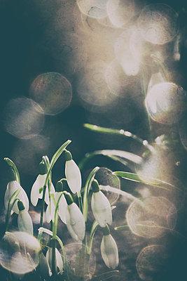 Schneegloeckchen im Sonnenschein - p739m1118936 von Baertels