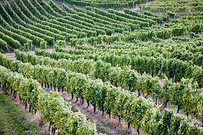 Weinberge Steiermark - p8420049 von Renée Del Missier
