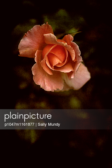 Close-up of a pink rose - p1047m1161877 by Sally Mundy