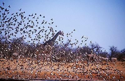 Flock of birds - p6520543 by Mark Hannaford