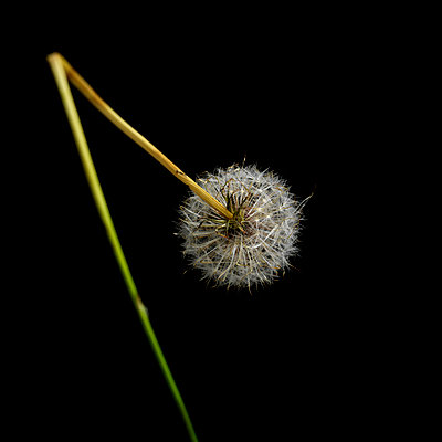 Dandelion in studio - p813m916235 by B.Jaubert
