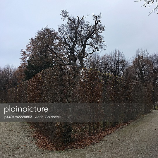 Topiary hedge in autumn, Schönbrunn castle grounds - p1401m2229893 by Jens Goldbeck